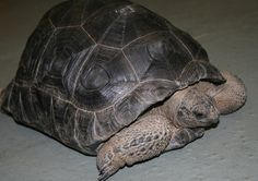 Aldabra Tortoise. The second largest species of Tortoise in the world!