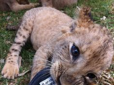 Even a Lion cub can't resist #HiTec! He has to be our cutest fan in the animal kingdom, don't you think?