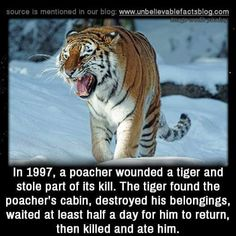 "unbelievable-facts: ""In a poacher wounded a tiger and stole part of its kill. The tiger found the poacher's cabin, destroyed his belongings, waited at least half a day for him to return, then killed and ate him. Wow Facts, Wtf Fun Facts, Funny Facts, Funny Memes, Random Facts, Epic Facts, Hilarious, Tiger Facts, Funny Animals"
