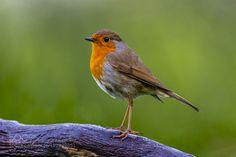 Robin 011 by DanHac #animals #animal #pet #pets #animales #animallovers #photooftheday #amazing #picoftheday
