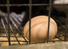 Investigation Finds Major Mistreatment of Hens at Massive Egg Factory Farm