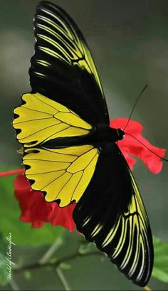 Butterfly Painting, Butterfly Wallpaper, Butterfly Flowers, Beautiful Bugs, Beautiful Butterflies, Amazing Nature, Cool Insects, Bugs And Insects, Beautiful Creatures