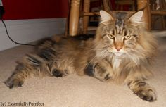 Eloise, a beautiful tabby #MaineCoon in #Blackburn #Lancashire following her #mobile #catgrooming session