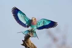 500px / Lilac Breasted Roller by Stu Porter