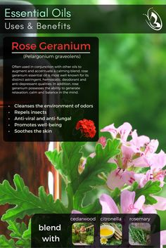 #EssentialOils -Uses and Benefits - Rose Geranium Essential Oil by Organic Aromas 100% pure