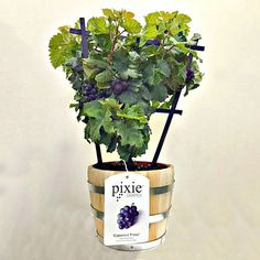 This unique plant produces a continuous supply of tiny clusters of edible pixie grapes right in a patio planter - no vineyard required. Grape Tree, Grape Plant, Grape Vines, Patio Planters, Planter Pots, Flower Pots, Flowers, Unique Plants, Landscaping Tips