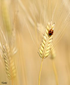 ladybug in the fields of gold...