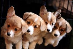 What's cuter than one corgi puppy? Four corgi puppies! Love My Dog, Puppy Love, Cute Puppies, Cute Dogs, Dogs And Puppies, Corgi Puppies, Baby Corgi, Mundo Animal, My Animal
