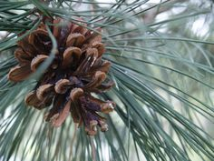 pine  http://en.wikipedia.org/wiki/File:Pine_cone_on_pine_tree.jpg