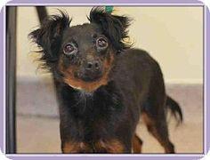 Norwalk, CT - Miniature Pinscher/Chihuahua Mix. Meet Minnie MinPin Chi, a dog for adoption. http://www.adoptapet.com/pet/12144079-norwalk-connecticut-miniature-pinscher-mix
