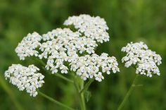 Yarrow - treat fever problems, for better treatment http://www.tivoni.com/dietary-supplements/caretiv-v