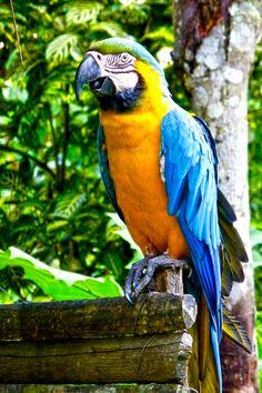 Im nördlichen Südamerika fühlt sich der Gelbbrustara wohl. Ihre blauen Federn wirken übrigens nur aufgrund ihrer Struktur blau.