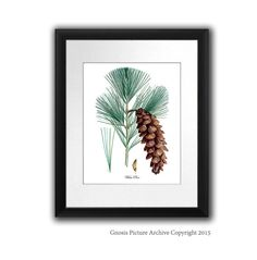 Antique Botanical Print Whte Pine Tree by GnosisPictureArchive