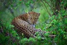 leopard By david lloyd