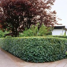 photinia x fraseri red robin hedge google search. Black Bedroom Furniture Sets. Home Design Ideas