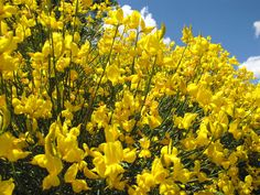 Spanish Broom on a Sunny Spring Day