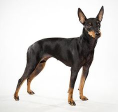 Love our Manchester Terrier. One of the best dogs ever!