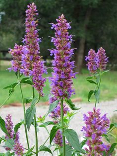LOVE: Anise Hyssop - It's super heat and drought tolerant, deer and rabbits leave it alone, it blooms for weeks in late summer, and butterflies love it. Name: Agastache foeniculum Growing Conditions: Full sun and well-drained soil Size: To 5 feet tall and 2 feet wide Zones: 4-10 Grow with: Black-eyed Susan for a dazzling blue-and-yellow combo of easy-care plants. Purple Coneflower for a combo that will give you pretty bouquets and tons of butterflies for weeks in summer
