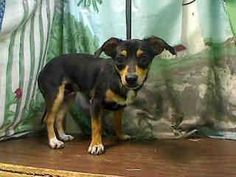 SAFE --- ★NEEDS COMMITMENT BY EOB MON 7/28★  PER SHELTER, NEEDS AN ADOPTER/RESCUE COMMITMENT BY EOB MONDAY JULY 28TH TO BE SAFE  #A437997 (Moreno Valley, CA)  Male, black and tricolor Chihuahua - Smooth Coated mix.  The shelter thinks I am about 4 months old  I have been at the shelter since Jul 19, 2014  Moreno Valley Animal Shelter at (951) 413-3790 https://www.facebook.com/135559229932205/photos/a.136024659885662.29277.135559229932205/336360923185367/?type=3&theater