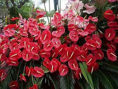 Floricultura Multiflora Fernandopolis: Mini-antúrio Sem Flores - O Que Fazer?