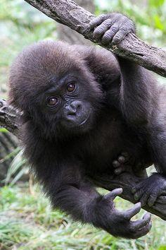 "funkysafari: ""Young Gorilla by Mark Dumont "" Gorillas In The Mist, Baby Gorillas, Orangutans, Primates, Mammals, Reptiles, Cincinnati Zoo, Mountain Gorilla, Africa"