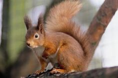 Kelling Heath have captive red squirrels which are part of the national breeding programme