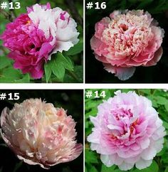 Peony Flower Seeds  Flowers Seeds About 20 Seeds . by Greenworld1
