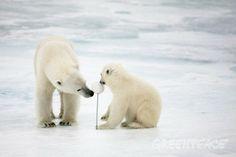 El ártico se derrite. Greenpeace recoge firmas para que la ONU lo declare Santuario Global. En 30 años se han derretido 3/4. Podéis colaborar en el siguiente enlace. #medioambiente