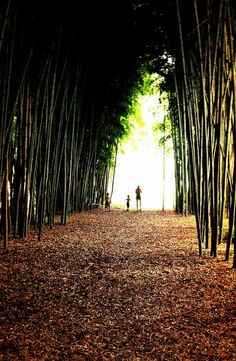 bamboo forest in cherokee, nc. this isn't even all of it.