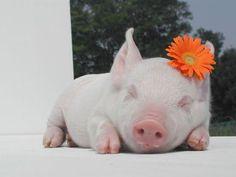 porquinhos fofo