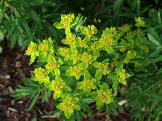 Rantatyräkki, Euphorbia palustris - Kukkakasvit - LuontoPortti