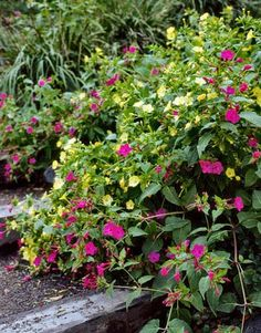 As their name indicates, the pink, red, yellow, or white blossoms of Mirabilis jalapa open in the late afternoon, releasing a lemony spice scent. They do well in full sun or partial shade.  ANNUAL   - Veranda.com