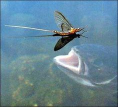 You can imitate this mayfly with a Light Hendrickson dry fly pattern