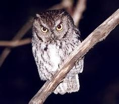 western screech owl -- wish the outside kitties hadn't killed this owl :(  BAD kitties!