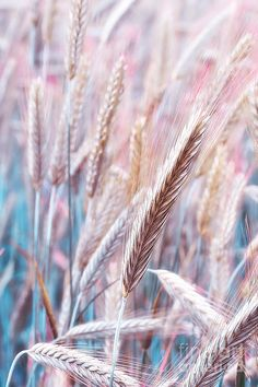 Pink Wheat Photograph - Pink Wheat Fine Art Print