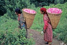 Transporting Rosa damascena to Kullu Valley rose distillery