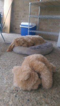 My puppy sleeping the same as her teddy. # labradoodle, puppy, teddy, cute, dog,