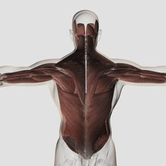 Male muscle anatomy of the human back Canvas Art - Stocktrek Images (29 x 29)