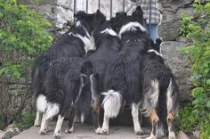 """Photo Contest: """"Random Acts of Sheepdogs"""" (WORLD TRIAL 2012)."""