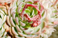 'Hens and Chicks' Succulent in Bloom Royalty Free Stock Photo