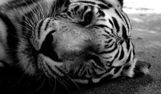 #bigcat #tiger #blackandwhite