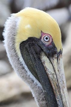 Brown Pelican, since Pinteresting... I've realized I have a fascination with pelican photos...