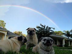 pugs rainbow