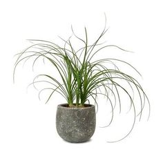 Beaucarnea - Pony Tail Palm - Head - 12 x Small Potted Plants, Indoor Plant Pots, Outdoor Plants, Pony Tail Palm, Indoor Palms, Plant Zombie, Jasmine Plant, Ceramic Plant Pots, Rose Of Sharon