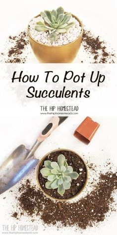 Learn How to Pot Up Succulents: Succulent gardens are so easy to care for which is why succulents are also great houseplants. I love succulents so much that I thought you might be interested in learning How to Pot Up Succulents.