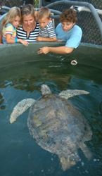 """Meet"" rescued sea turtles at the Turtle Hospital in Marathon, where dedicated staff members focus on the care and rehabilitation of sick and injured sea turtles."