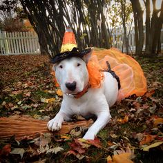 Candy Corn Witch #Popcorn #BullTerrier #Halloween #Pet #HowlOWeen #DogCostume