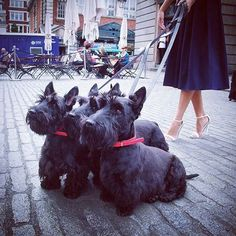 """""""We're all eyes and ears."""" Something has certainly caught the attention of these 3 wee Radley Scotties.<3 #RadleyLondon"""
