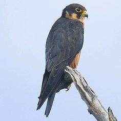 Falco cuvierii (African hobby, African hobby falcon)                Afrikaanse Boomvalk