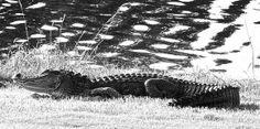 Alligator at Seatrail, Sunset Beach, NC
